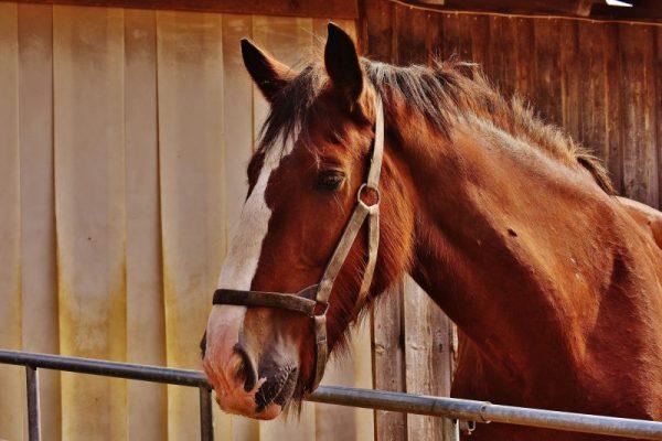 Il PRP per curare i cheloidi del cavallo