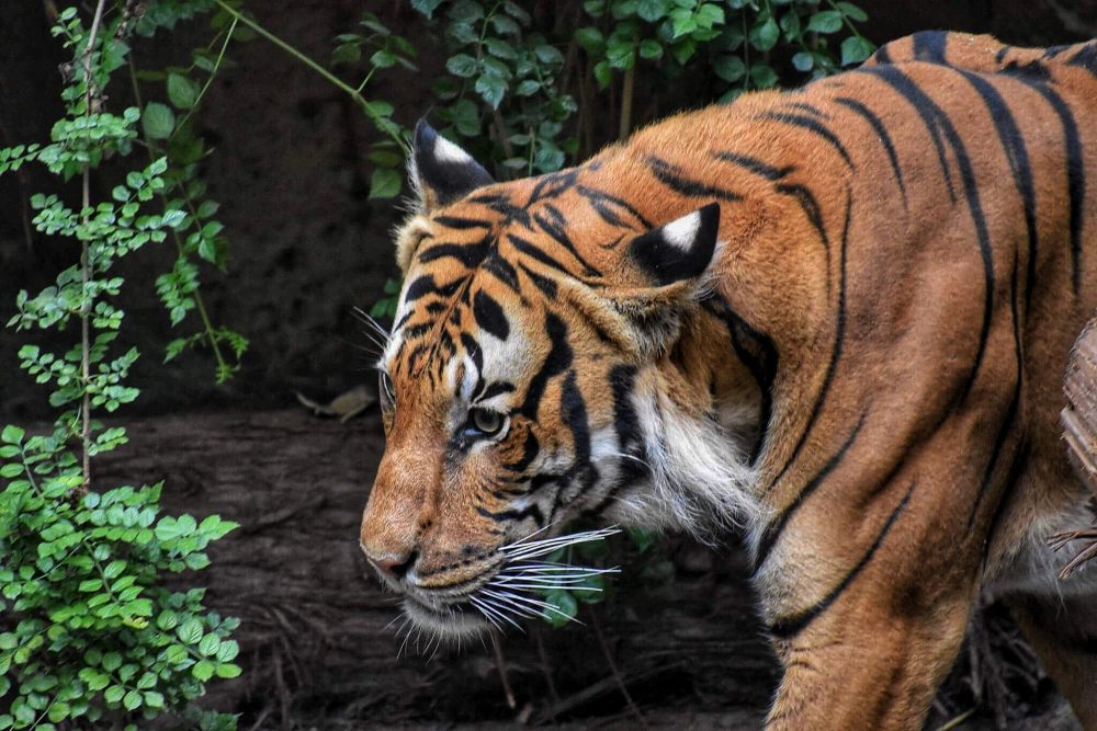animals-covid-19-bronx-zoo-tigers-feline-animal care-