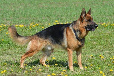 Il pastore tedesco, tra i più soggetti a displasia dell'anca e osteoartrite