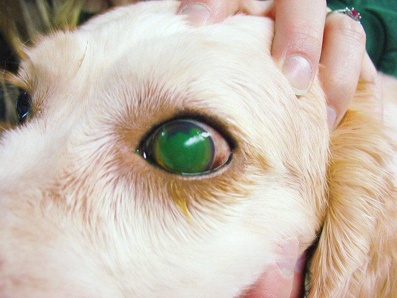 ulcera nel cane, fluorescina
