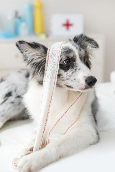 How properly bandage a dog
