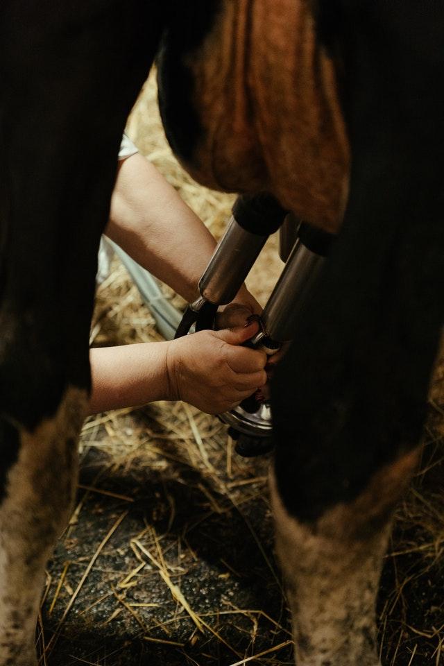 endometritis reduces fertility in cows